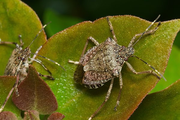 a stink bug crawling on a leaf outside of a home in pennsylvania