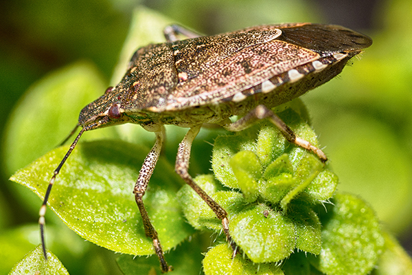a brown marmorated stink bug on a leaf outside of a home in souderton pennsylvania