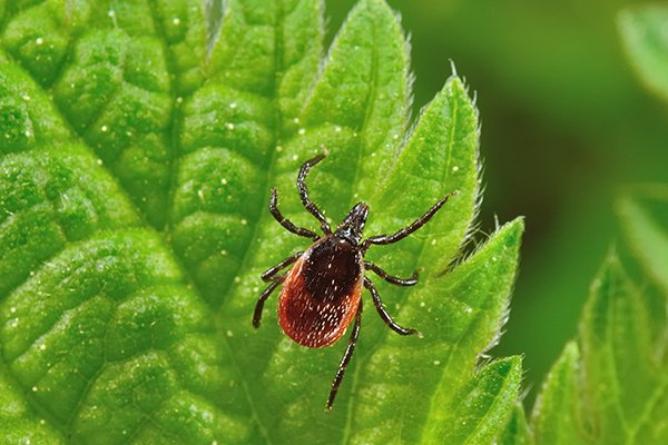 a tick crawling on a leaf outside of a home in souderton pennsylvania