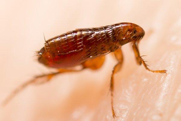 a flea crawling on a human resident of souderton pennsylvania
