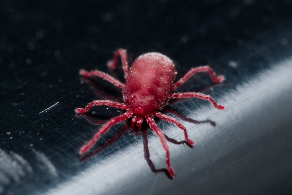 a clover mite crawling on a surface inside of a home in west chester pennsylvania