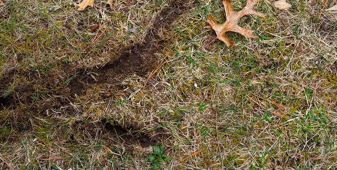 vole damage to grass