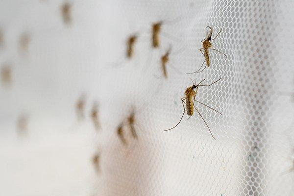 mosquitoes on the screen of a home in west chester pennsylvania