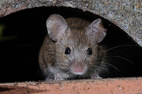 a house mouse emerging form a hiding spot inside of a home in pennsylvania