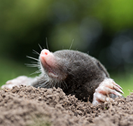 a mole in a hole