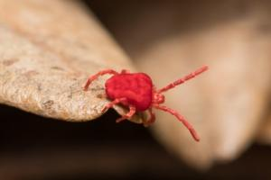 tiny red clover mite in pa