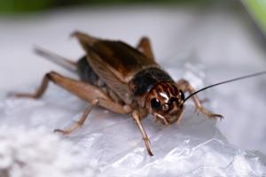 large black field cricket in pa