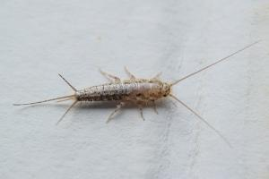 common silverfish in pa