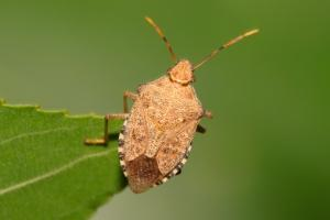 brown marmorated stink bug in pa
