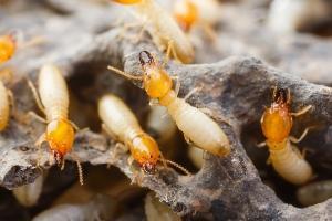 eastern subterranean termite in pa