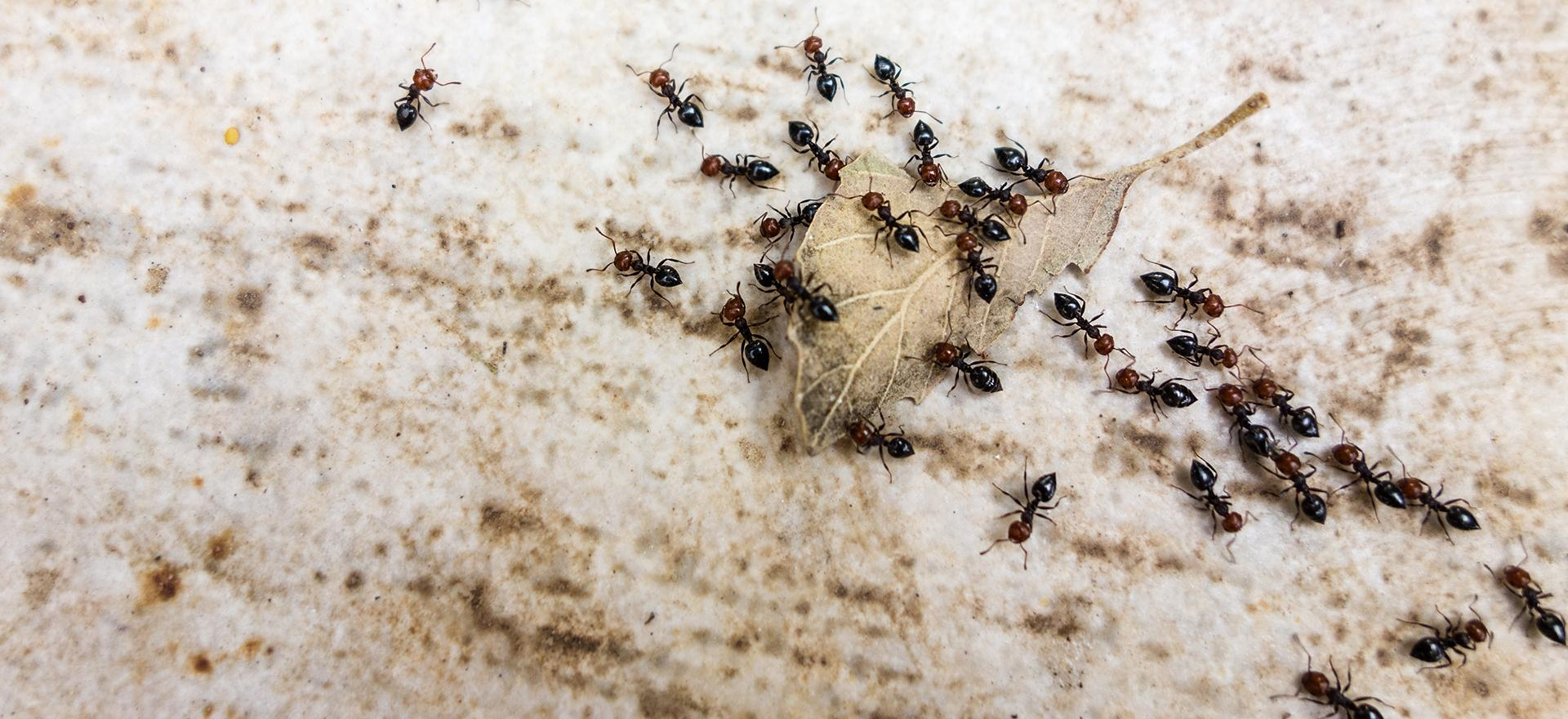 ants in pennsylvania