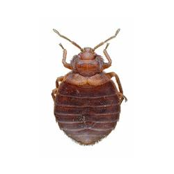 bed bug illustration