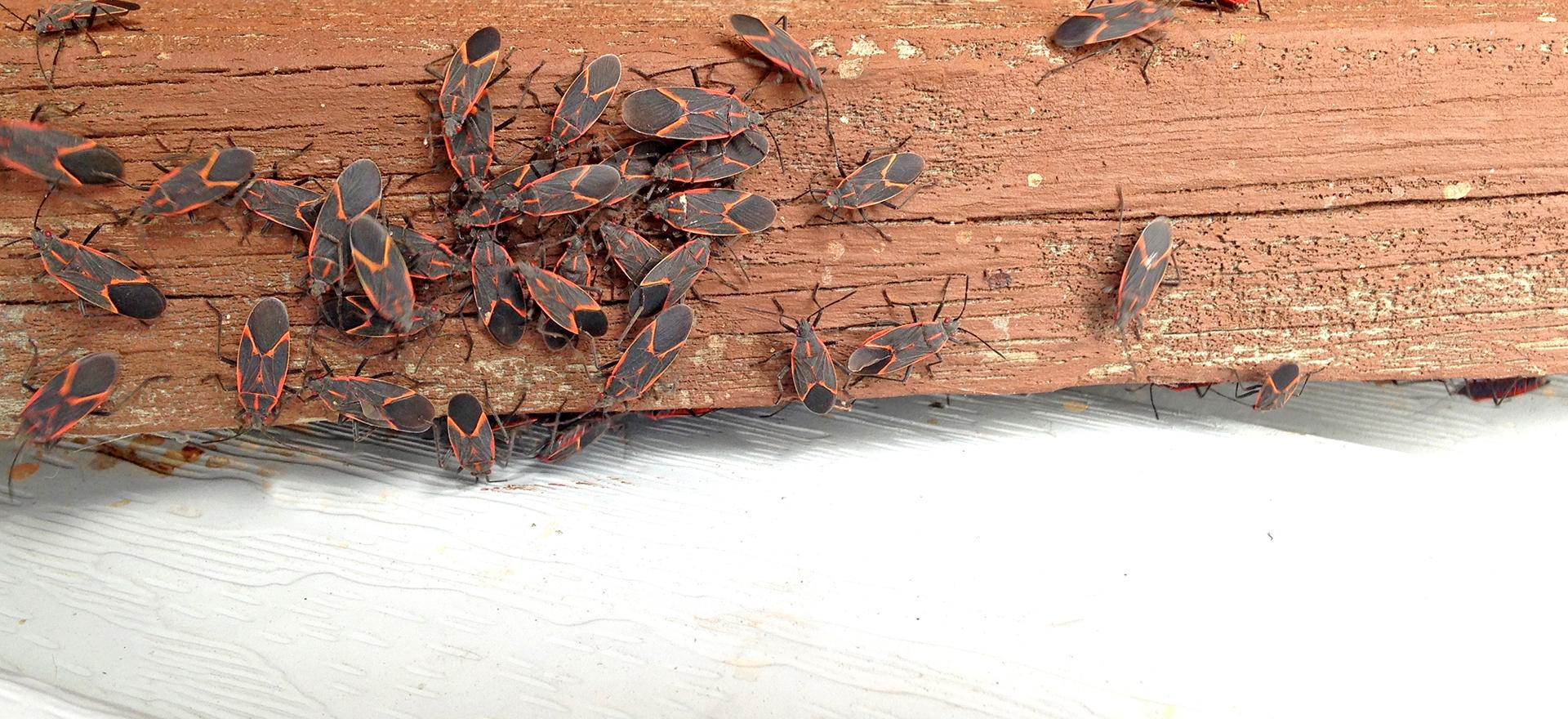 box elder bug removal