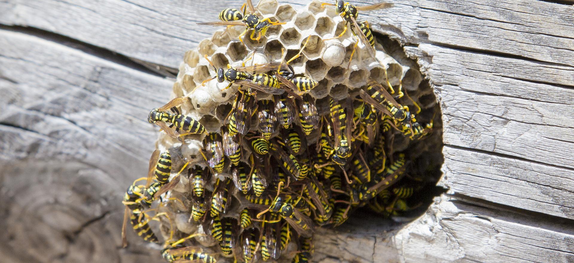 hornets nest close up