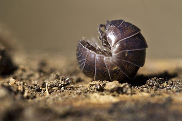 pill bug on dirt