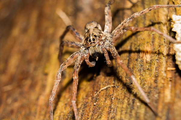 a wolf spider crawling on the floor of a home in souderton