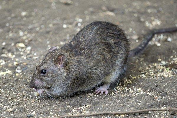 a rat crawling on the ground outside of a home in west chester pennsylvania