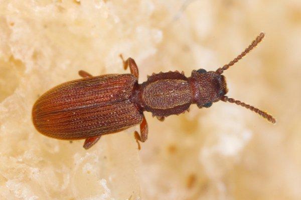 sawtooth grain beetle on on bread