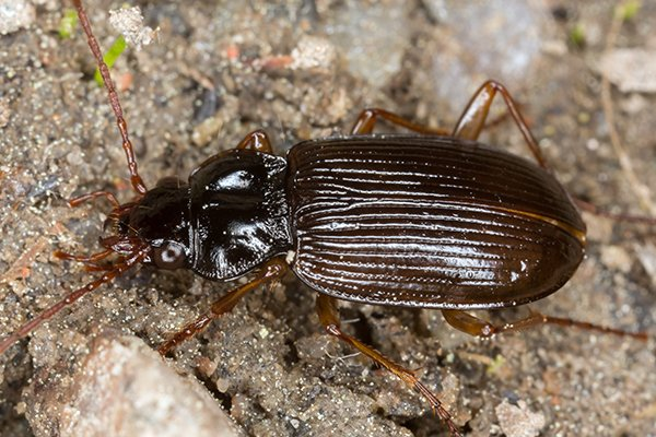 a ground beetle crawling in a garden outside of a home in souderton