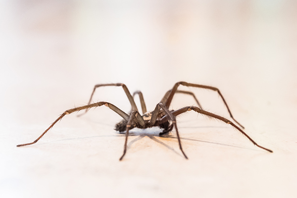 a common house spider crawling on the floor of a home in souderton pennsylvania