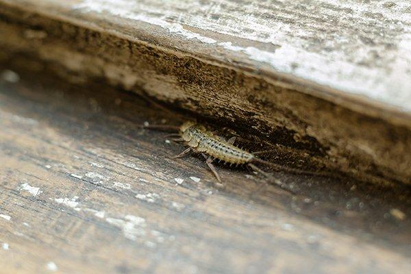 a silverfish crawling on a wooden surface inside of a home in new castle delaware