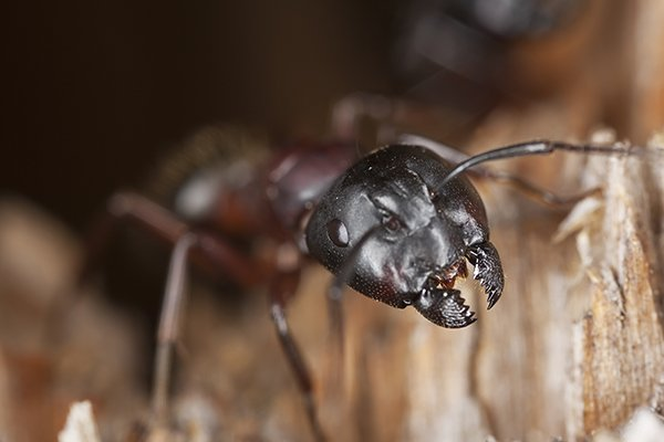 a carpenter ant emerging from a piece of wood inside of a home in pennsylvania