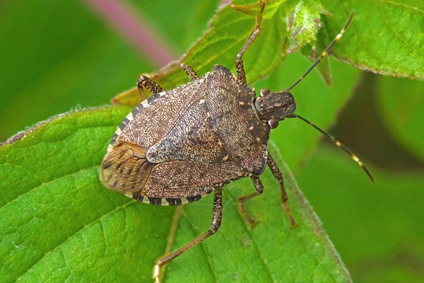 a stink bug crawling on a leaf outside of a home in west chester pennsylvania