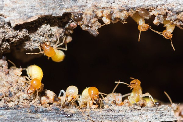 a colony of termites inside a piece of decaying wood in pennsylvania