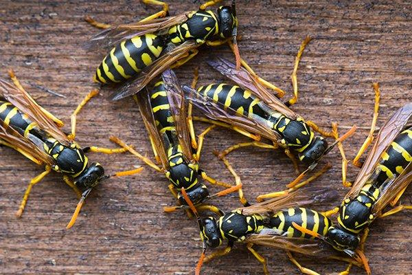 wasps crawling on a wooden structure in souderton pennsylvania