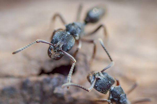 carpenter ants outside of a home in west chester pennsylvania