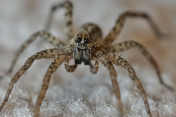 a house spider crawling on the floor of a home in pennsylvania