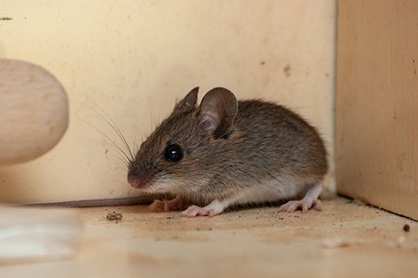 a house mouse crawling on the floor of a home in pennsylvania