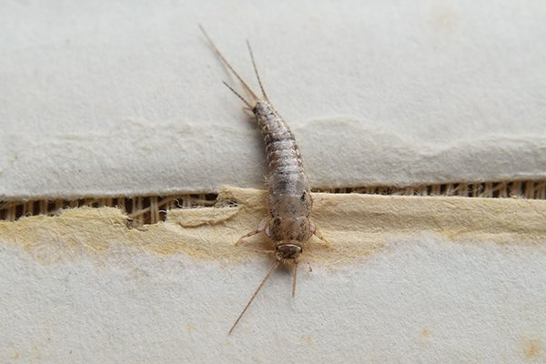 silverfish crawling on a crack in the wall in pa