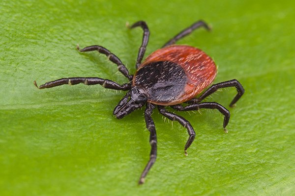 a tick crawling on a leaf outside of a home in west chester pennsylvania