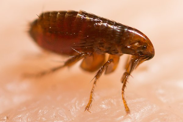 a flea crawling on the skin of a home owner in pennsylania