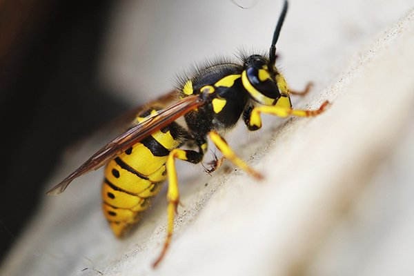 a yellow jacket wasp crawling on a tree branch outside of a home in pennsylvania