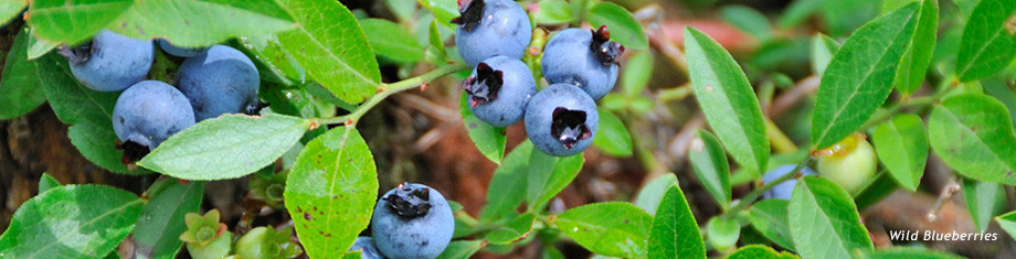 maine grown blueberries before they become natural skincare products, powders, and teas