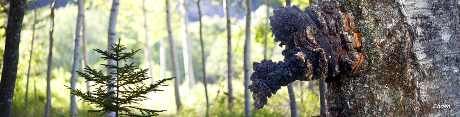 chaga growing in the maine woods