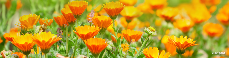 wild marigolds growing in a maine field