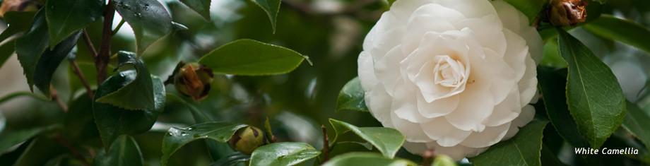 white camellia flower in maine
