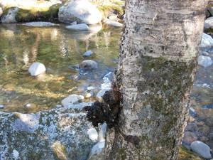 chaga growing near water in maine