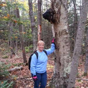 large chaga conk harvested in maine woods