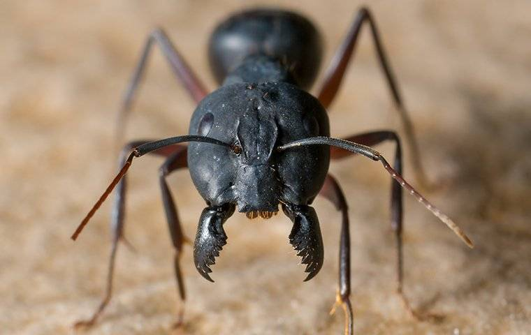 front view of a carpenter ant face