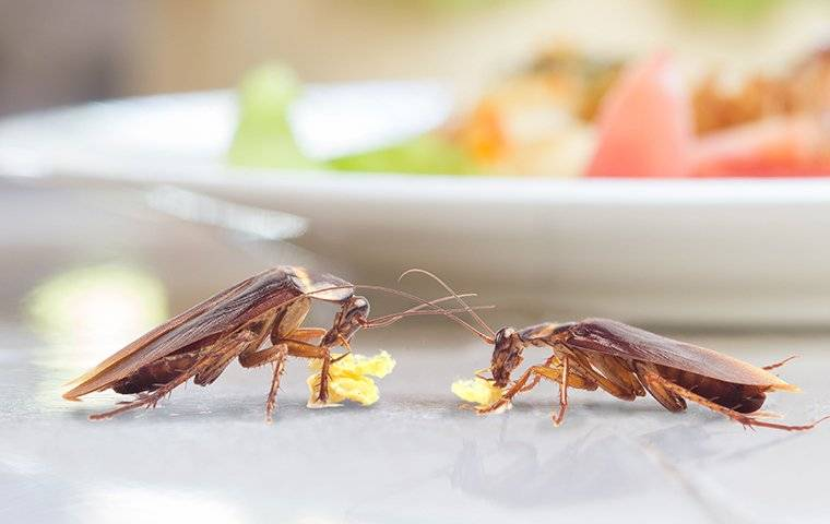 two cockroaches eating crumbs on a kitchen table