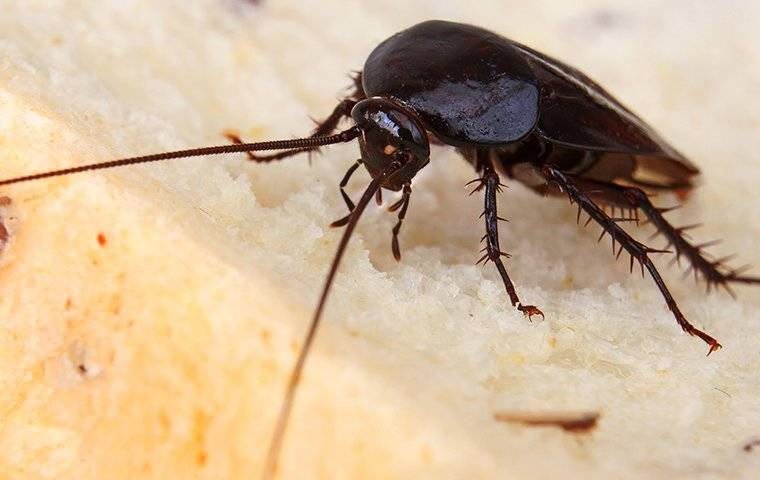 a smoky brown cockroach on bread