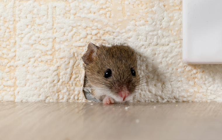 mouse peeking out of hole in wall
