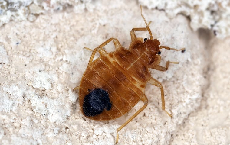 a bed bug crawling on a mattress in a home in elgin texas