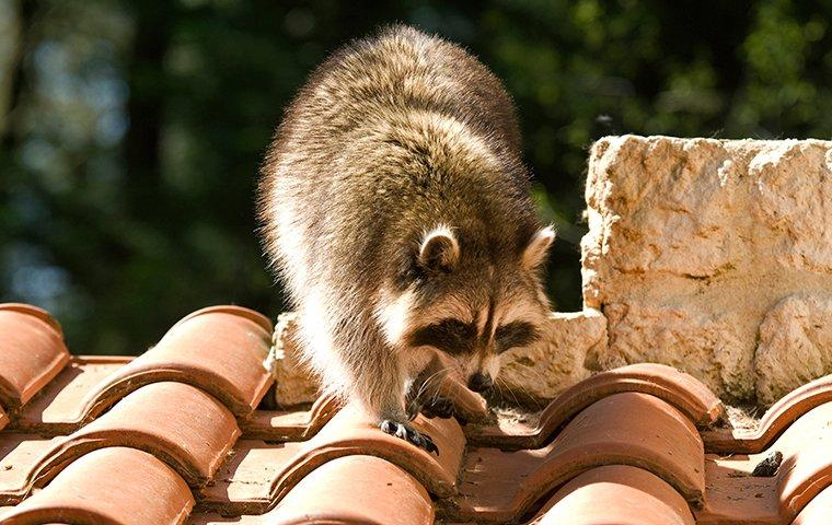 a raccoon walking on the roof of a home