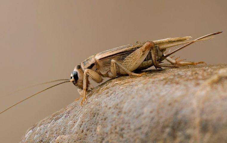 a cricket crawling on a rock