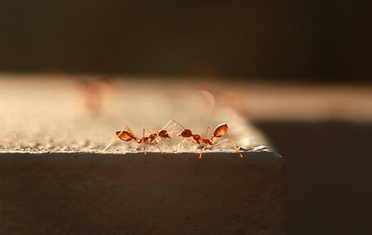 two fire ants on cement wall